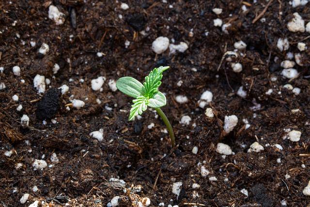 cbd rastlina
